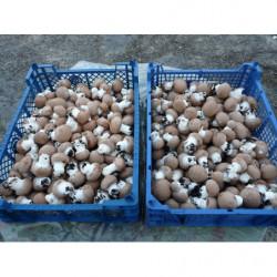 champignons bruns - 500gr -...