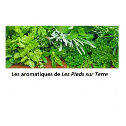 Plant Menthe marocaine -...