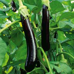 aubergine greffée Faselis -...