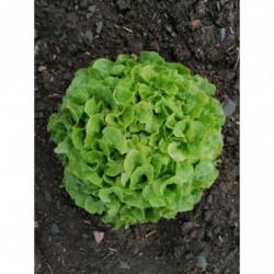 Salade feuilles de chêne -...