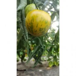 Tomates Green zebra - Les...