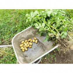 Pommes de terre AGRIA - Les...